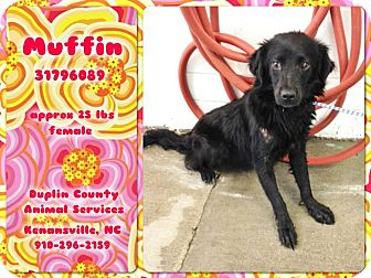 Spaniel (Unknown Type)/Flat-Coated Retriever Mix Dog for adoption in Kenansville, North Carolina - MUFFIN