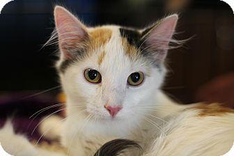 Turkish Angora Kitten for adoption in Marietta, Georgia - Tesla