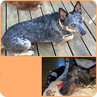 Australian Cattle Dog Dog for adoption in Minneapolis, Minnesota - Smokey