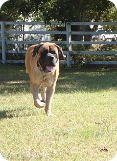 English Mastiff Dog for adoption in Norwood, Georgia - Prince
