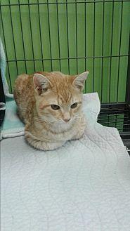 Domestic Shorthair Kitten for adoption in Barnwell, South Carolina - Jill