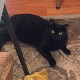 Domestic Shorthair Cat for adoption in Oakland, California - Blackie [CP]