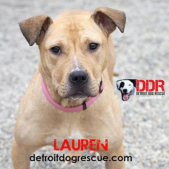 American Pit Bull Terrier/Shepherd (Unknown Type) Mix Dog for adoption in St. Clair Shores, Michigan - Lauren