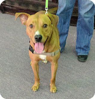 Labrador Retriever/Terrier (Unknown Type, Medium) Mix Dog for adoption in Brattleboro, Vermont - Indy