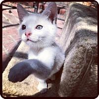 Adopt A Pet :: Humuhumunukunukuapua`a     (AKA Twinkie) - Los Angeles, CA