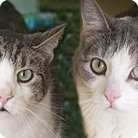 Adopt A Pet :: Tiger & Tabby - Chicago, IL