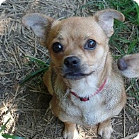 Chihuahua/Pug Mix Dog for adoption in Washington, D.C. - Dale