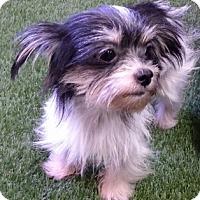 Adopt A Pet :: Mindy - Temecula, CA