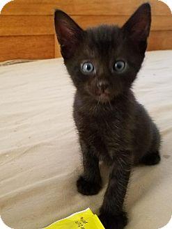 Domestic Shorthair Kitten for adoption in West LA, California - Atrayu