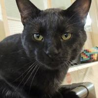 Adopt A Pet :: Darth Vader - Westville, IN
