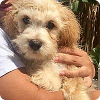 Adopt A Pet :: Sinclair - Santa Ana, CA