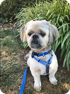 Shih Tzu Dog for adoption in Greensboro, North Carolina - mikie