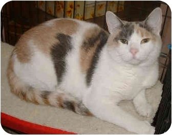 Domestic Shorthair Cat for adoption in Honesdale, Pennsylvania - Katrina