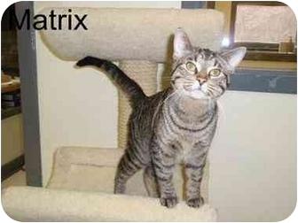 Domestic Shorthair Cat for adoption in Milwaukee, Wisconsin - Matrix
