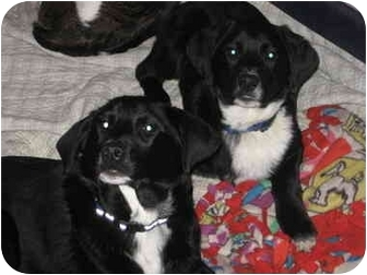 Newfoundland/Labrador Retriever Mix Puppy for adoption in Cincinnati, Ohio - BooBoo & Yogi