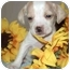 Photo 1 - Beagle Mix Puppy for adoption in Provo, Utah - BEAGLE MIX PUPPIES