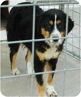 Australian Shepherd Mix Dog for adoption in Ripley, Tennessee - Bubba (269)