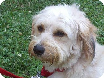 Yorkie, Yorkshire Terrier/Lhasa Apso Mix Dog for adoption in Harrisonburg, Virginia - Benji