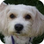 Shih Tzu/Spaniel (Unknown Type) Mix Dog for adoption in Eatontown, New Jersey - Lola