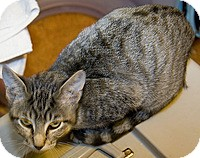 Domestic Shorthair Kitten for adoption in Tampa, Florida - Loly