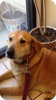 Labrador Retriever Mix Dog for adoption in Hatifeld, Pennsylvania - Bella