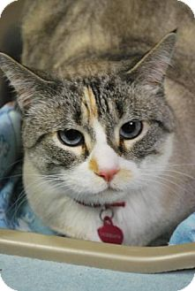 Siamese Cat for adoption in East Hanover, New Jersey - Pebbles