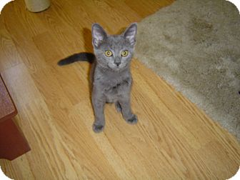 Domestic Shorthair Kitten for adoption in Daytona Beach, Florida - Storm