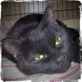 Domestic Shorthair Cat for adoption in Medford, Wisconsin - WHISKERS