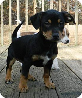 Terrier (Unknown Type, Small)/Dachshund Mix Puppy for adoption in Staunton, Virginia - Rocco