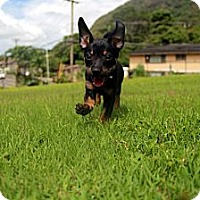Adopt A Pet :: Chewy - Honolulu, HI