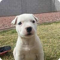 Adopt A Pet :: Snow - Only $95 adoption! - Litchfield Park, AZ