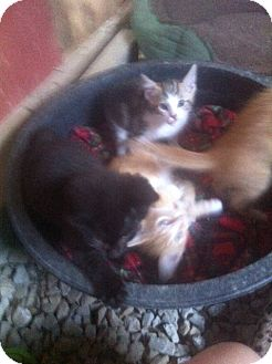 American Shorthair Kitten for adoption in Owensboro, Kentucky - Kittens!