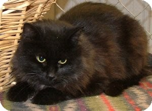 Domestic Mediumhair Cat for adoption in Savannah, Missouri - Tess