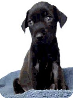 Italian Greyhound/Labrador Retriever Mix Puppy for adoption in Boulder, Colorado - Jada