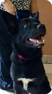 German Shepherd Dog Mix Dog for adoption in Homestead, Florida - Jaxx