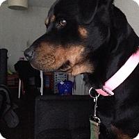 Adopt A Pet :: Tiger Lily - Arlington, TX