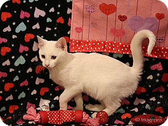 Domestic Shorthair Kitten for adoption in Newtown, Connecticut - Charity