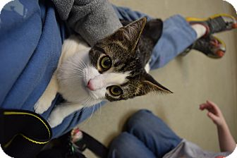 Domestic Shorthair Kitten for adoption in Bucyrus, Ohio - Candi Apples