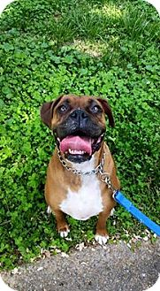 Boxer Dog for adoption in Colonial Heights, Virginia - JORDAN