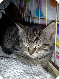 Domestic Shorthair Kitten for adoption in Columbus, Ohio - Drew