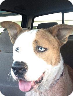 Bulldog/Husky Mix Dog for adoption in Ocean Ridge, Florida - Elijah Blue