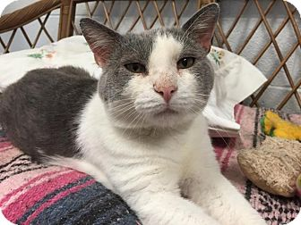 Domestic Shorthair Cat for adoption in Chambersburg, Pennsylvania - Teddy
