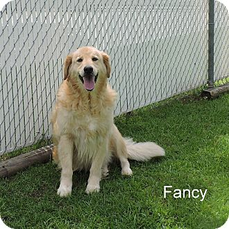 Golden Retriever Mix Dog for adoption in Slidell, Louisiana - Fancy