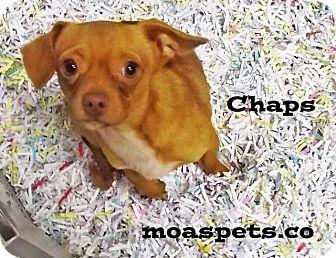 Chihuahua/Pekingese Mix Dog for adoption in Danielsville, Georgia - Chaps