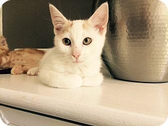 Calico Kitten for adoption in Tiburon, California - Fiona