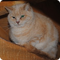 Domestic Shorthair Cat for adoption in Granby, Colorado - Marilyn