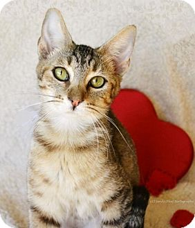 Domestic Shorthair Kitten for adoption in East Hartford, Connecticut - Pooky--meet me 2/19