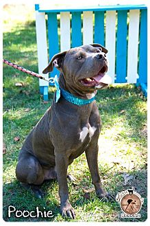American Staffordshire Terrier Mix Dog for adoption in Vancouver, British Columbia - Poochie