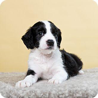 Cocker Spaniel/German Shepherd Dog Mix Puppy for adoption in Houston, Texas - Rain