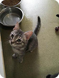 Domestic Shorthair Kitten for adoption in Westminster, California - Buff